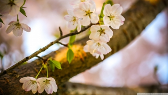 let_the_cherry_blossoms_bloom-wallpaper-1920x1080.jpg
